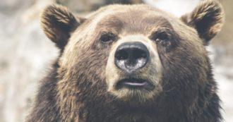 Trentino, ho letto i verbali degli ispettori del ministro Costa: agli orsi detenuti serve aiuto