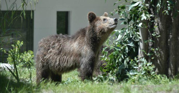 Il Trentino ancora contro gli orsi: in progetto un altro 'Casteller'. Con soldi pubblici ovviamente