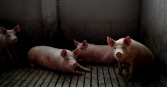 """L'allarme del virologo: """"Se cambiamo il clima del pianeta avremo altre pandemie. L'Oms dia regole stringenti sugli allevamenti di maiali"""""""