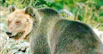 """Trentino, l'orso Papillon ancora in fuga. Costa: """"Abbattere M49 non ha senso. Non ha mai aggredito nessuno"""""""