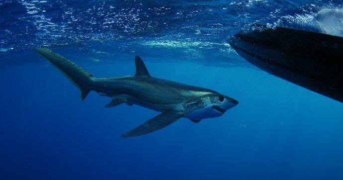 Giornata mondiale degli squali: dall'app fino agli ami 'ecologici', ecco il progetto da 3 milioni di euro per salvarli dall'estinzione