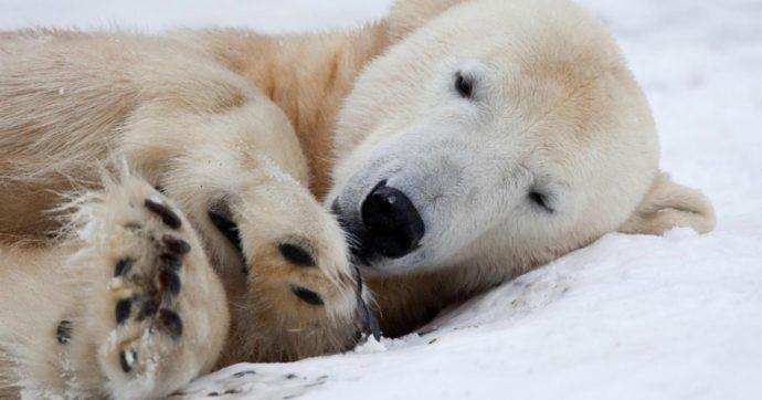 """Orsi polari, """"nel 2100 saranno scomparsi"""": le prove nello studio che incrocia cibo, ghiacciai e cambiamento climatico"""