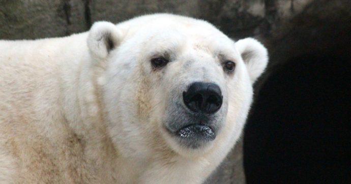 Orsi polari, siamo ancora in tempo ma ne abbiamo sempre meno
