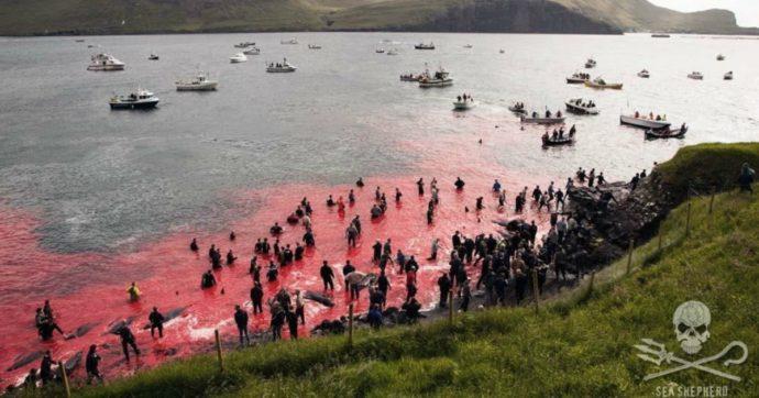"""Mattanza di cetacei alle isole Faroe, la denuncia: """"È un massacro, uccisi oltre 252 balene e 35 delfini in pochi giorni"""""""