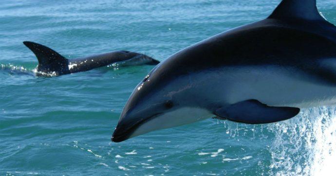 Un virus minaccia delfini e balene. E l'azione dell'uomo lo sta favorendo