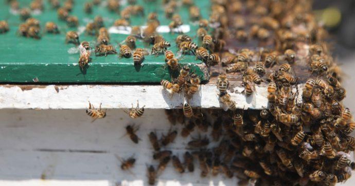 Quattro milioni di api morte in due giorni tra Brescia e Cremona: indagano i Forestali