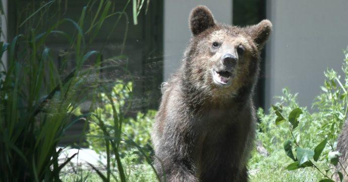 L'orsa JJ4 è di nuovo libera: un altro stop a una politica persecutoria