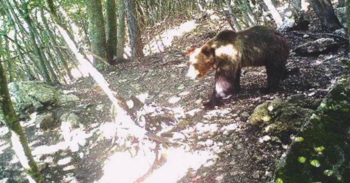 M49 fa litigare i governatori leghisti: no di Veneto, Friuli e Lombardia alla redistribuzione degli orsi del Trentino