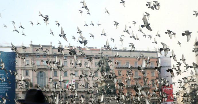 """Regione Lombardia: """"Troppi piccioni, sono dannosi per l'agricoltura"""". Il piano per abbatterne 20mila"""