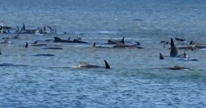 Tasmania, le balene spiaggiate spezzano il cuore. Ora l'uomo può agire perché una fine simile non si ripeta