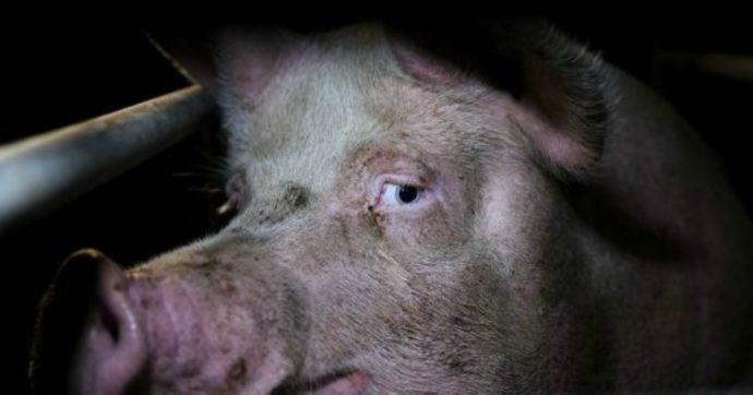 Diritti animali, un altro caso di maltrattamenti sui maiali. Cambiano gli allevamenti, non la brutalità