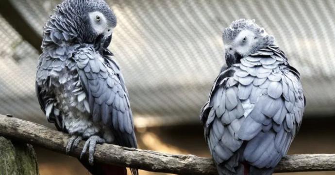 """Pappagalli bestemmiano e sghignazzano tra loro: la """"gang"""" allontanata dallo zoo"""