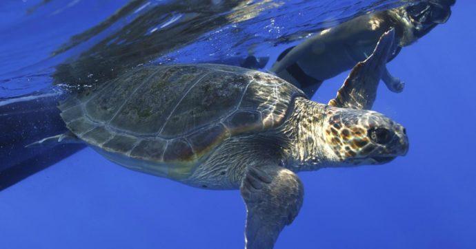 """Sicilia da record per i nidi di tartaruga. Il veterinario che le cura: """"Segnale di speranza, troppo spesso ferite da barche e ami"""""""