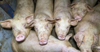 """Il peso della carne in Italia, lo studio: """"Gli allevamenti intensivi consumano una volta e mezza le risorse naturali dei terreni"""""""