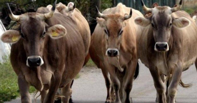 """Attaccata da una mandria di mucche, 61enne muore davanti alla famiglia: """"Scaraventata in aria come una bambola di pezza"""""""