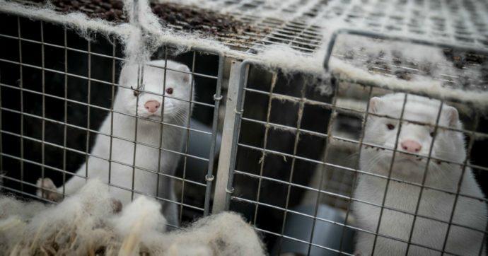 Covid, in Lombardia verranno abbattuti 25mila visoni in un allevamento nel Cremonese: attestati 3 casi di positività tra gli animali