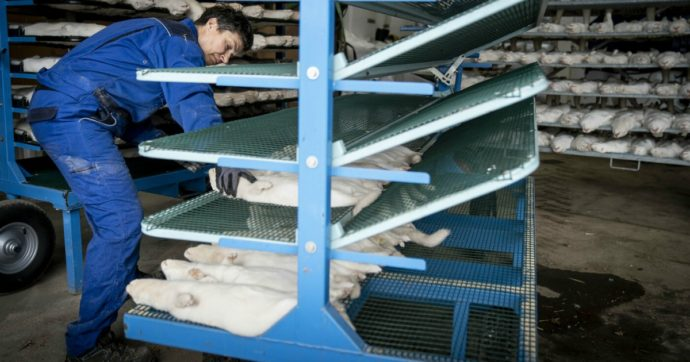 Anche in Grecia trovati visoni positivi al Covid-19: 2500 animali verranno abbattuti