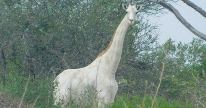 Kenya, l'ultima giraffa bianca munita di dispositivo Gps contro i bracconieri