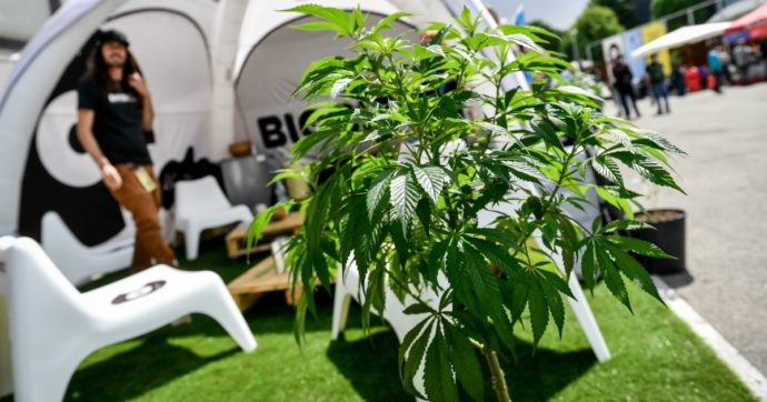 Dopo 50 anni la cannabis esce dalla tabella Onu degli stupefacenti. Riconosciuto il valore terapeutico della pianta