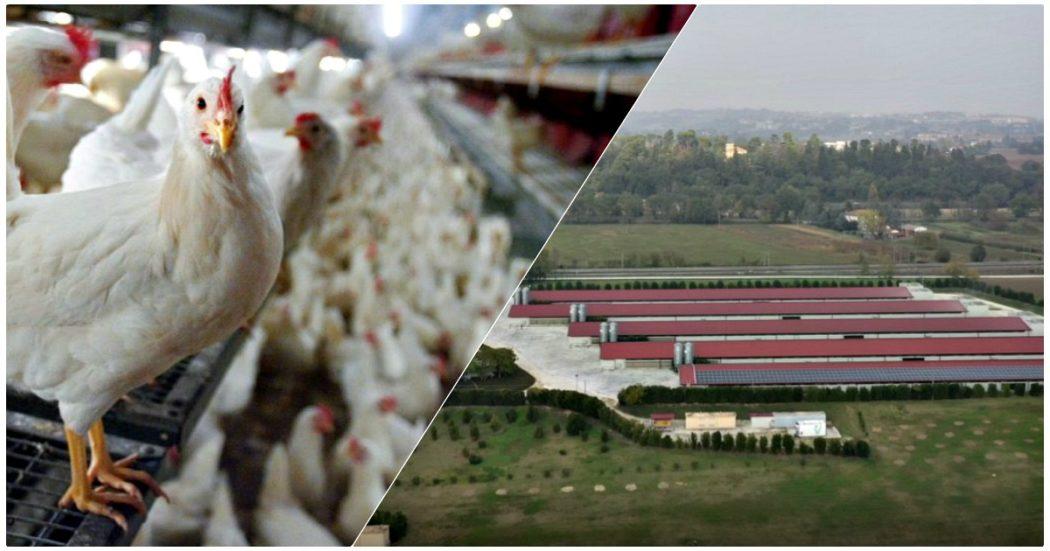 """Ancona, la valle dei polli: in provincia il quintuplo della media nazionale. I comitati: """"Allevamenti intensivi con pochi posti di lavoro, inquinamento e deprezzamento degli immobili"""""""