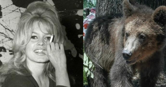 """Brigitte Bardot scrive al presidente Provincia di Trento: """"Libera gli orsi a Casteller o non ti risparmierò"""". Lui: """"Se li ama venga a trovarci"""""""