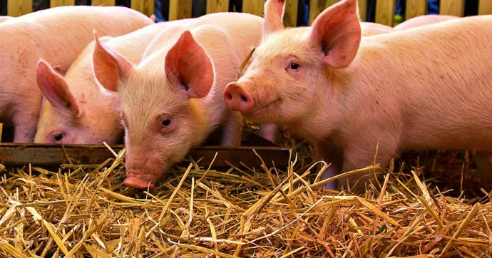 """Benessere animale, l'appello su Twitter contro l'approvazione della certificazione: """"È un'operazione solo per mettere un bollino"""""""