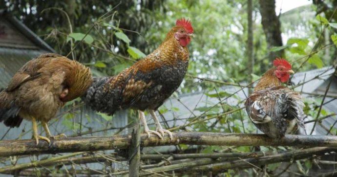 Russia, primi casi di infezione di influenza aviaria H5N8 nell'uomo: registrati 7 contagi