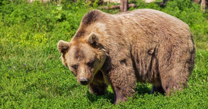 """Trento, il presidente Fugatti vuole più libertà (rispetto alla legge) sui provvedimenti contro gli orsi: """"Ordinanza urgente in caso di attacco"""""""