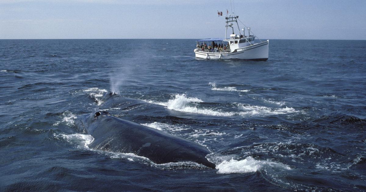 Un'altra conseguenza del riscaldamento delle acque: la balene muoiono di fame