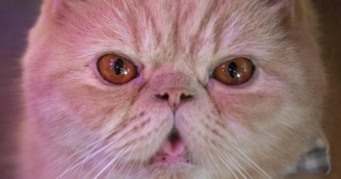 Gatto entra nella cabina dell'aereo in volo e attacca il pilota: atterraggio d'emergenza