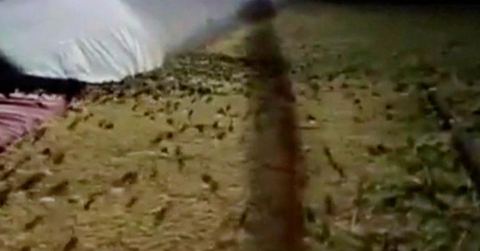 L'invasione dei topi sta devastando l'Australia: esche inutili, contadini raddoppiano le dosi di veleno