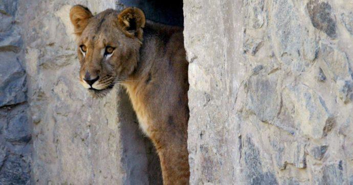 India, leonessa morta dopo essere stata contagiata dal coronavirus. Nello stesso zoo positivi altri otto felini