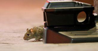 Covid, le varianti brasiliana e sudafricana del virus contagiano i topi. Lo studio dell'Istituto Pasteur