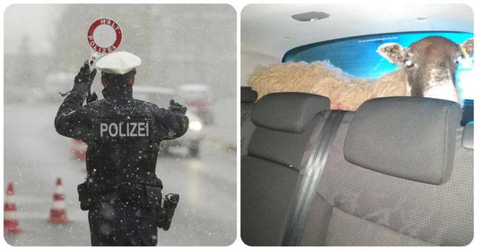 Polizia ferma automobile senza revisione e assicurazione e con una pecora nel bagagliaio