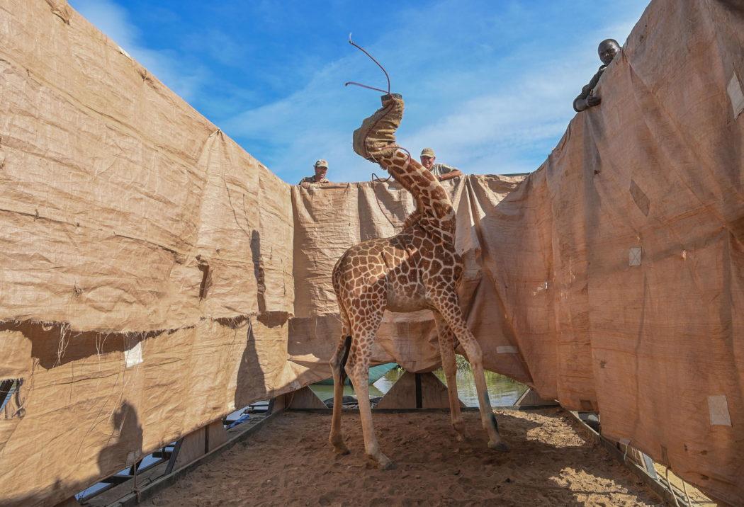"""Per la sezione """"Natura"""" il primo premio è andato a Ami Vitale con la foto di una giraffa trasportata su una chiatta costruita su misura, dall'isola allagata di Longicharo, sul lago Baringo, nel Kenya occidentale,"""