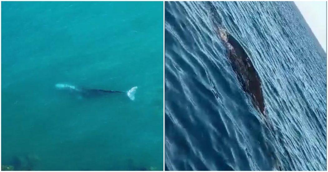 """Avvistamento """"rarissimo"""" a Ponza: filmata una balena grigia. Ecco il video"""