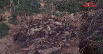 """La """"discarica di maiali nel Cremonese"""": titolare denunciato per inquinamento ambientale dopo il blitz de ilfattoquotidiano.it. La falla dei controlli, inadeguati per legge"""
