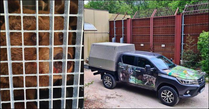 """Orsa Dj3 trasferita dal Trentino in Germania. La rabbia degli animalisti: """"Rinchiusa a vita in uno zoo, la Provincia ha agito in silenzio"""""""