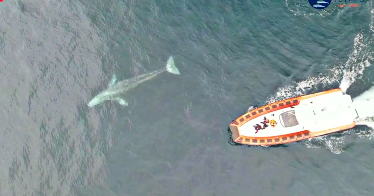 """Wally, la balena che dall'Oceano Pacifico è arrivata nelle acque italiane: """"Stremata dal lungo viaggio, giovane esemplare di 7 metri"""" – Video"""