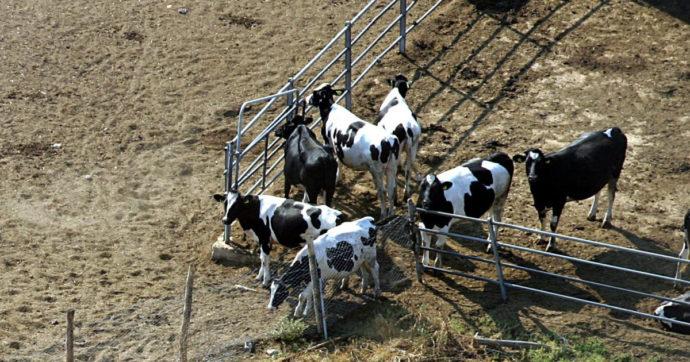 """Si cospargono di sterco e urina di vacca per essere immuni al Covid, gli esperti: """"Non c'è alcuna prova scientifica, solo credenze"""""""