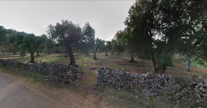 """Xylella, nuovo rogo in Salento: a fuoco gli ulivi eradicati per la malattia. Coldiretti: """"Serve confronto con Ue su fondi per la rigenerazione"""""""