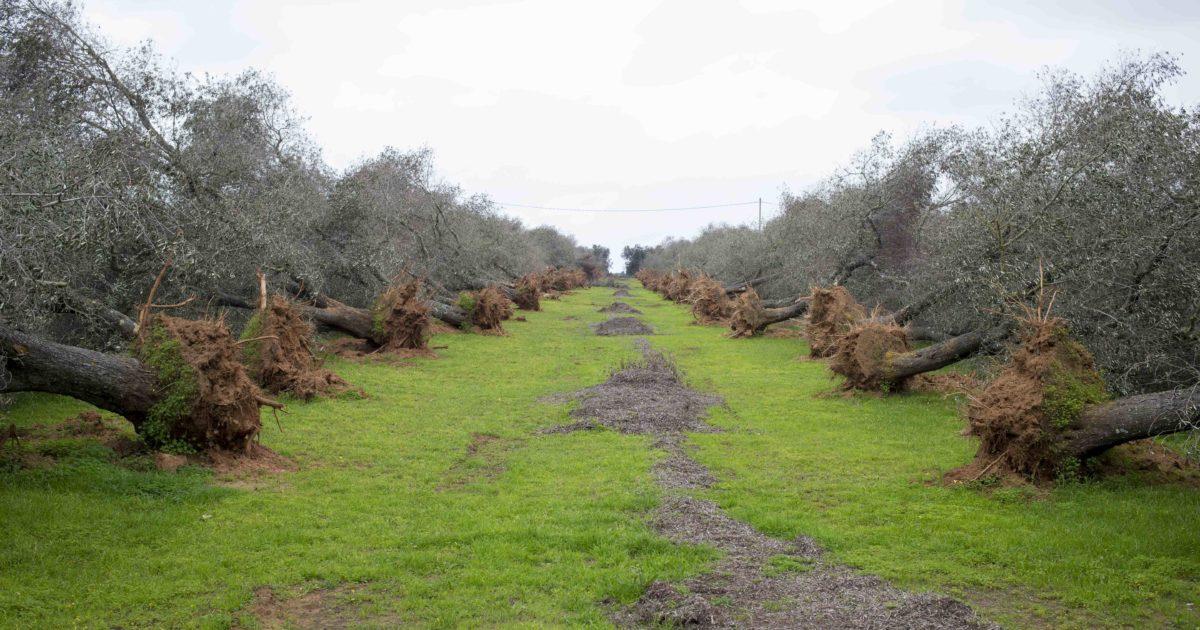 """L'allarme dei comitati: """"La Puglia è a rischio ecocidio"""". La politica rischia di fare più danni della Xylella"""