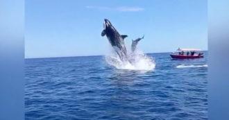 L'orca assassina affonda un delfino durante la caccia: il video di uno spettacolare salto nell'oceano diventa virale