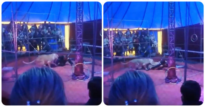 """Leonessa attacca domatore di circo durante uno spettacolo: """"Una donna incinta ha avuto una crisi epilettica dallo spavento"""""""