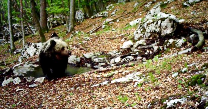 Orso sbrana un 16enne: turista assiste alla scena e colpisce l'animale al collo con un temperino