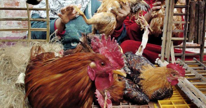 Allerta per influenza aviaria, primo caso umano da nuovo ceppo H10N3 in Cina. In Russia diversi focolai di H5N8