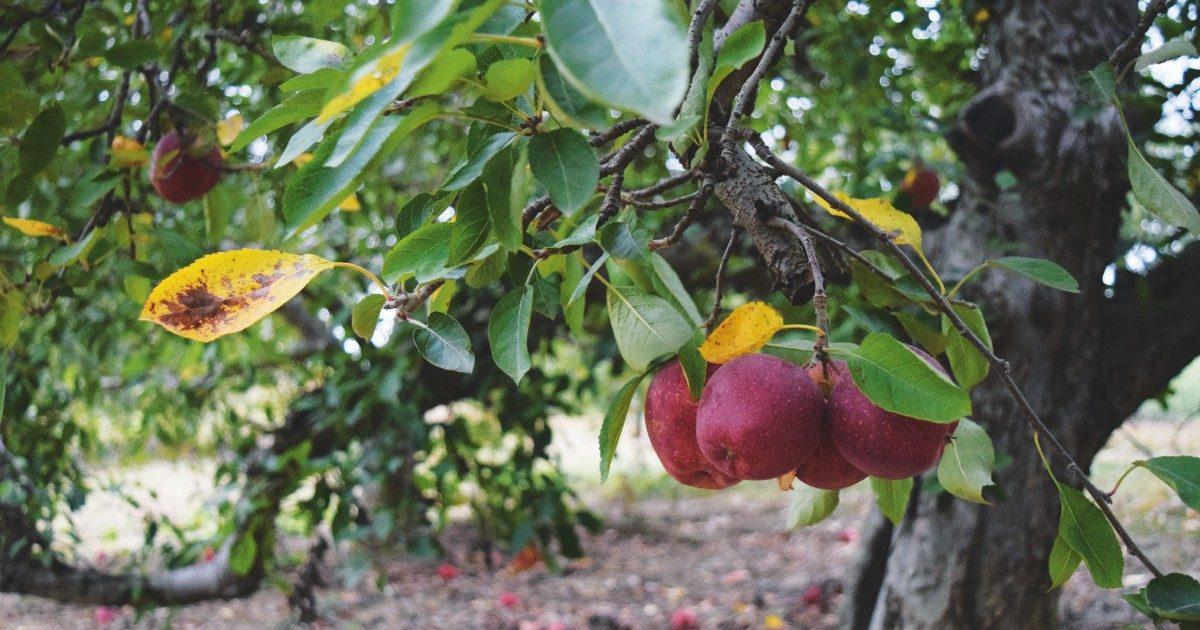 Sudtirol, assolto il giornalista che denunciò l'abuso di pesticidi nella coltivazione di mele