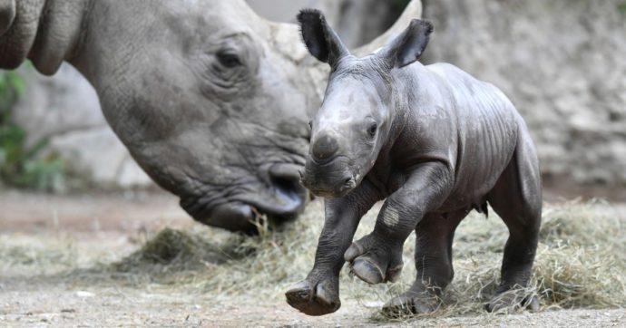 """Sudafrica, rinoceronti dai corni """"radioattivi"""" per proteggerli dal bracconaggio: gli isotopi per scoraggiare i cacciatori di frodo"""