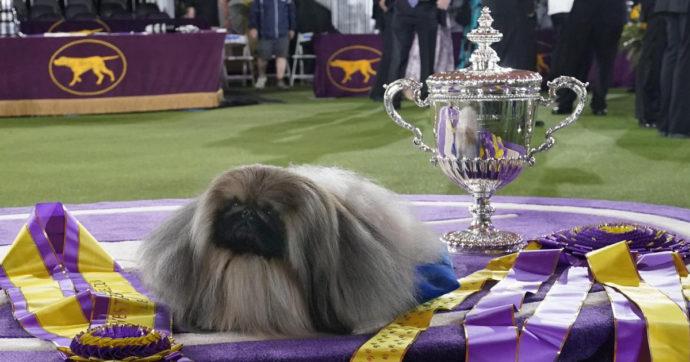Il pechinese Wasabi è il cane più bello d'America. Il 'commento memorabile' del proprietario