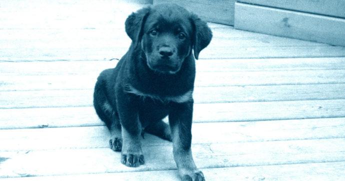 Uccide a calci un cucciolo di Labrador di 2 mesi: testimoni assistono alla scena e lo linciano